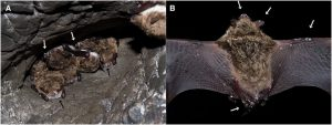 Figure 2(a) A hibernating cluster of pond bats Myotis dasycneme in a cave near Yekaterinburg, Russia, in May 2014. Black and white arrows indicate fungal growth on the muzzle and forearm, respectively. (b) A pond bat from the same hibernaculum showing visible fungal growth on the uropatagium, pelvic limb toes, plagio- and propatagium and the ears and muzzle (white arrows). Photo: Jiri Pikula